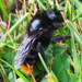 Hill Cuckoo-Bumble Bee - Photo (c) zoe1994, some rights reserved (CC BY-NC)