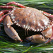 Pacific Rock Crab - Photo (c) Donna Pomeroy, some rights reserved (CC BY-NC)