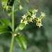 Wild Madder - Photo (c) williamdomenge9, some rights reserved (CC BY-NC)