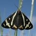 Arctia plantaginis - Photo (c) Kristi DuBois, algunos derechos reservados (CC BY-NC)