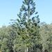 Araucaria de Bahía Moretón - Photo (c) bundalafarm, algunos derechos reservados (CC BY-NC)