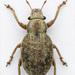 Strophosoma capitatum - Photo (c) Mark Gurney, algunos derechos reservados (CC BY-NC-SA)