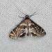Petrophila canadensis - Photo (c) Mike V.A. Burrell, μερικά δικαιώματα διατηρούνται (CC BY-NC)