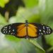 Mariposa Tigre Cola Larga - Photo (c) Diego Delso, algunos derechos reservados (CC BY-SA)