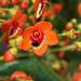 Meriania hernandii - Photo (c) humbertomendozacifuentes, algunos derechos reservados (CC BY-NC)