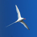 Tropicbirds - Photo (c) Jerry Oldenettel, some rights reserved (CC BY-NC-SA)