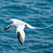 Red-billed Tropicbird - Photo (c) ConstantineD, some rights reserved (CC BY-NC-ND)