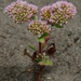 Sonoma Spineflower - Photo (c) dgreenberger, some rights reserved (CC BY-NC-ND)