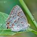 Mariposa Sedosa Gigante Rayuela - Photo (c) Eduardo Axel Recillas Bautista, algunos derechos reservados (CC BY-NC)