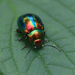 Dead-nettle Leaf Beetle - Photo (c) Jiri Klimes, some rights reserved (CC BY)