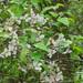 Manzano Silvestre Americano - Photo (c) Will Van Hemessen, algunos derechos reservados (CC BY-NC)