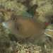 Flagtail Triggerfish - Photo (c) Mark Rosenstein, some rights reserved (CC BY-NC-SA)