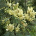 Black Wattle - Photo (c) enbodenumer, some rights reserved (CC BY-NC-SA)