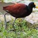 Northern Jacana - Photo (c) Juan Jose Montero Rodriguez, some rights reserved (CC BY-NC-SA)