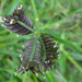 Three-spiked Goose Grass - Photo (c) Phil Bendle, some rights reserved (CC BY-NC)