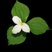 Large White Trillium - Photo (c) sandy richard, some rights reserved (CC BY-NC-SA)