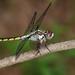 Libellula vibrans - Photo (c) Royal Tyler, algunos derechos reservados (CC BY-NC-SA)
