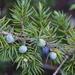 Juniperus communis depressa - Photo (c) Micah Freedman, algunos derechos reservados (CC BY-NC)