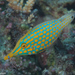 Longnose Filefish - Photo (c) Mark Rosenstein, some rights reserved (CC BY-NC-SA)