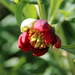 California Peony - Photo (c) Joe Decruyenaere, some rights reserved (CC BY-SA)