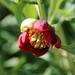 Paeonia californica - Photo (c) Joe Decruyenaere, osa oikeuksista pidätetään (CC BY-SA)