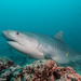 Tiburón Tigre - Photo (c) Mark Rosenstein, algunos derechos reservados (CC BY-NC-SA)