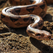 Boa Constrictors - Photo (c) Eric Martin, some rights reserved (CC BY-NC-ND)