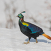 Himalayan Monal - Photo (c) Sharma BC, some rights reserved (CC BY-NC)