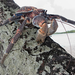 Coconut Crab - Photo (c) pattfwi, some rights reserved (CC BY-SA)