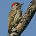 Cardinal Woodpecker - Photo (c) Alan Manson, some rights reserved (CC BY-SA)