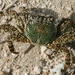Mottled Lightfoot Crab - Photo (c) Arthur Chapman, some rights reserved (CC BY-NC-SA)