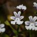 Nemesia diffusa - Photo (c) magriet b, algunos derechos reservados (CC BY-SA)