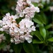 Kalmia latifolia - Photo (c) Malcolm Manners,  זכויות יוצרים חלקיות (CC BY)