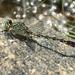 Arigomphus villosipes - Photo (c) smwhite, algunos derechos reservados (CC BY-NC)
