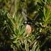 Leucadendron uliginosum - Photo (c) Rebecca Ryen, algunos derechos reservados (CC BY-SA)