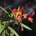 Diplacus aurantiacus × flemingii - Photo (c) James Bailey,  זכויות יוצרים חלקיות (CC BY-NC)