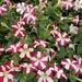 Petunia de Jardín - Photo (c) sorte_muld, algunos derechos reservados (CC BY-NC)