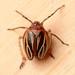 Phylloscelis atra - Photo (c) Arlon Motsch, algunos derechos reservados (CC BY-NC)