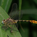 Sulphur-tipped Clubtail - Photo (c) Benjamin Schwartz, some rights reserved (CC BY-NC)