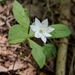 Lysimachia europaea - Photo (c) Almantas Kulbis, algunos derechos reservados (CC BY-NC)