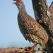 African Spurfowl - Photo (c) Nik Borrow, some rights reserved (CC BY-NC)