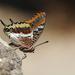 Πεταλούδα Της Κουμαριάς - Photo (c) Claude Dopagne, μερικά δικαιώματα διατηρούνται (CC BY-NC-ND)