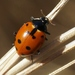 American Five-spotted Lady Beetle - Photo (c) James Bailey, some rights reserved (CC BY-NC)