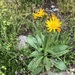 Senecio doronicum - Photo (c) Jason Grant,  זכויות יוצרים חלקיות (CC BY)