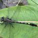 Arigomphus villosipes - Photo (c) smwhite,  זכויות יוצרים חלקיות (CC BY-NC)