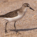 Semipalmated Sandpiper - Photo (c) cyric, some rights reserved (CC BY-NC-SA), uploaded by cyric