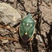 Chlorochroa sayi - Photo (c) James Bailey, algunos derechos reservados (CC BY-NC)