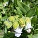 California Pitcher Sage - Photo (c) Stacie Wolny, some rights reserved (CC BY-NC-SA)
