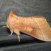Nadata gibbosa - Photo (c) Royal Tyler, μερικά δικαιώματα διατηρούνται (CC BY-NC-SA)