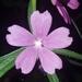 Sidalcea virgata - Photo (c) Alex Abair, alguns direitos reservados (CC BY-NC)